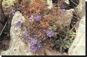 Algarvean Blue Pimpernel